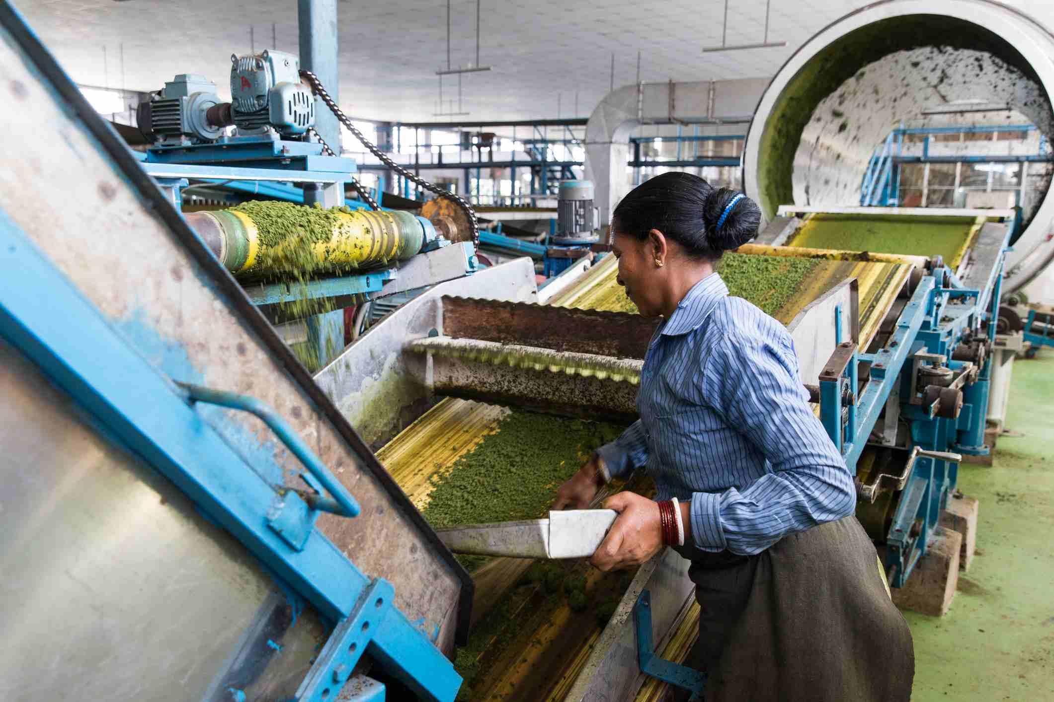 Tea processing in Darjeeling.