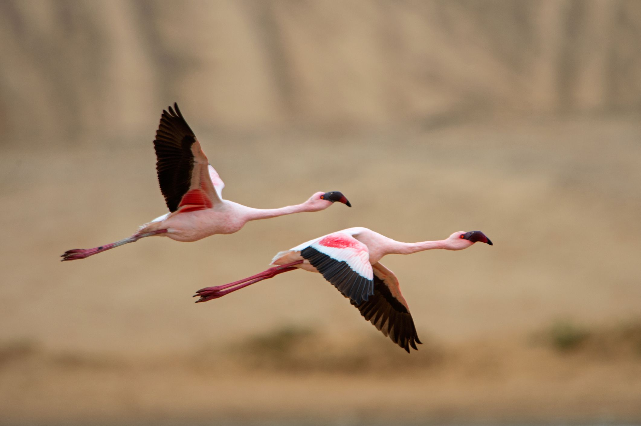 Greater Flamingos, Southern Africa Best Birding