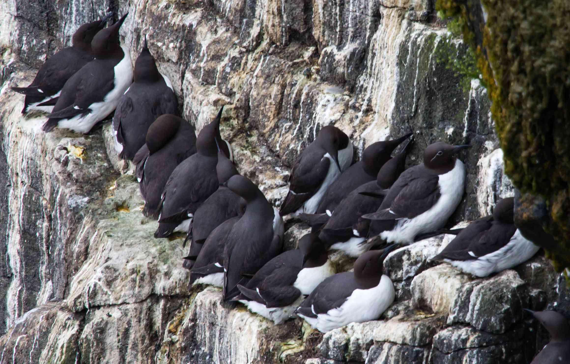 Flock of guillemot, Ireland
