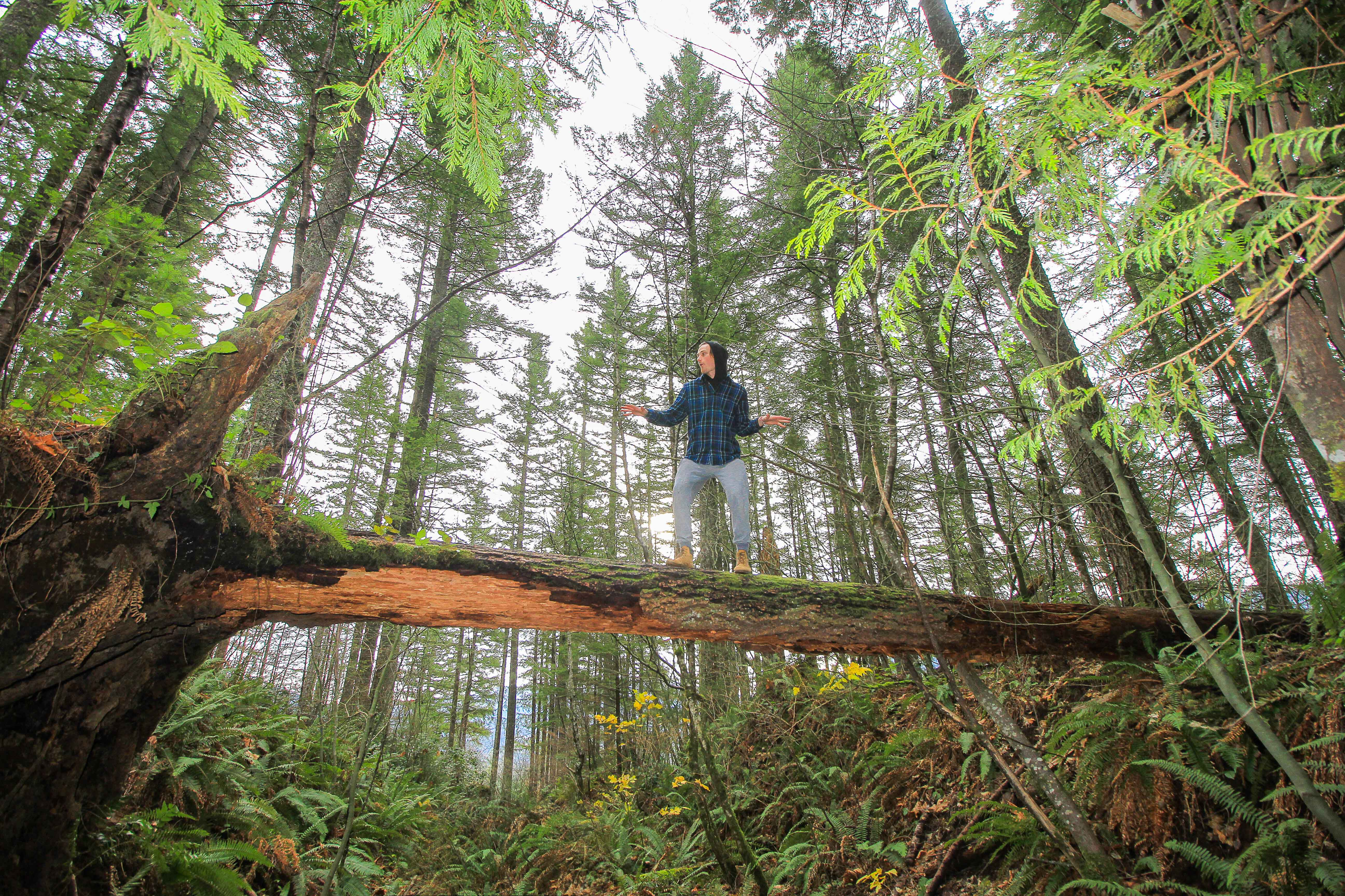 A person climbing trees in Olympic National Park