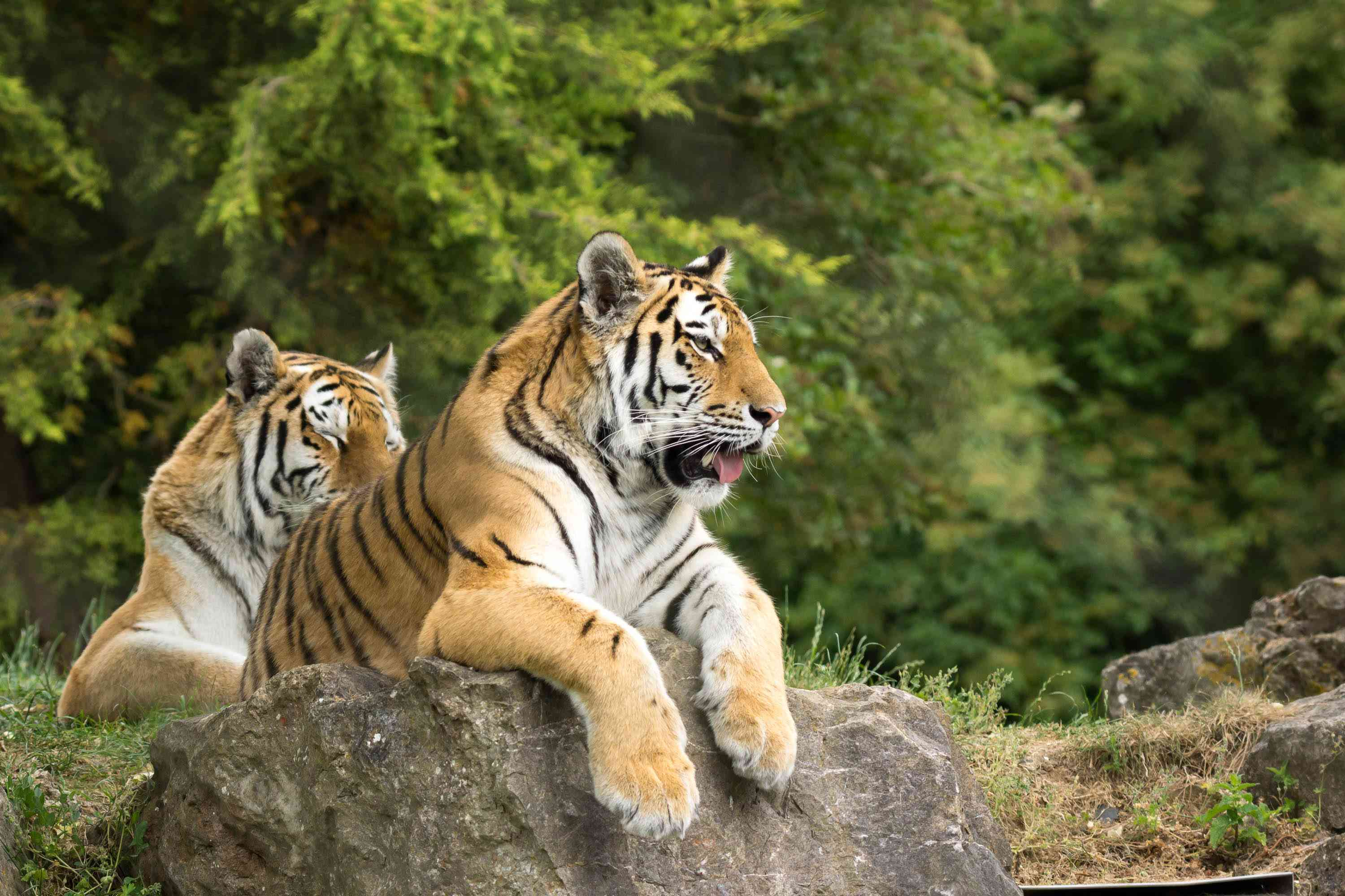 Tigers at Marwell Zoo