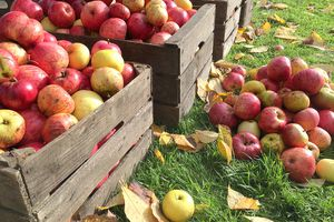 Crates of fresh apples in an orchard