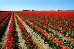 A field of red tulips in Skagit Valley