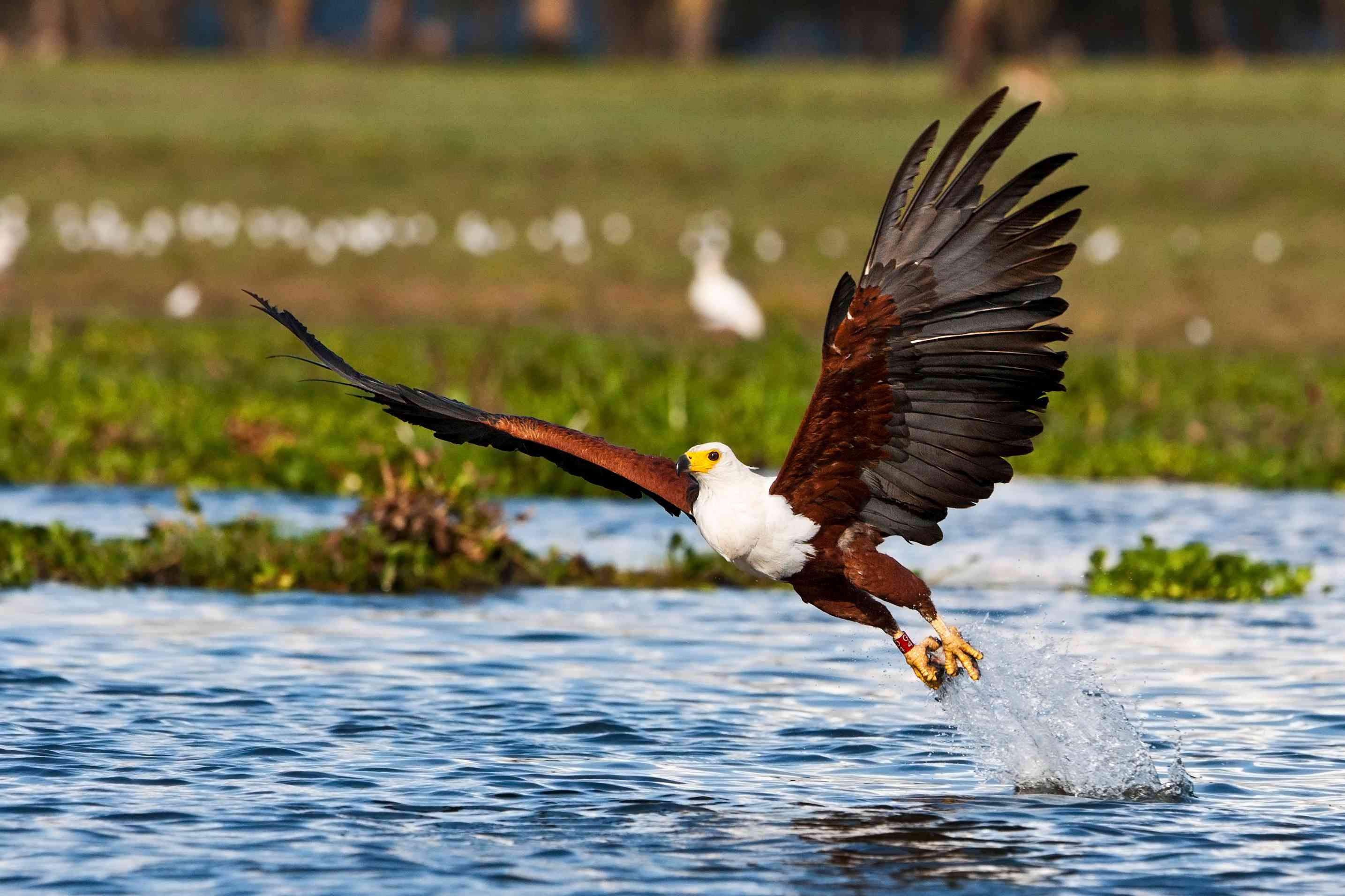 African fish eagle taking off from the water