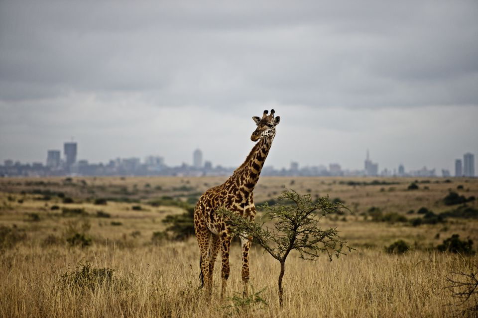 Giraffe with Nairobi in the background