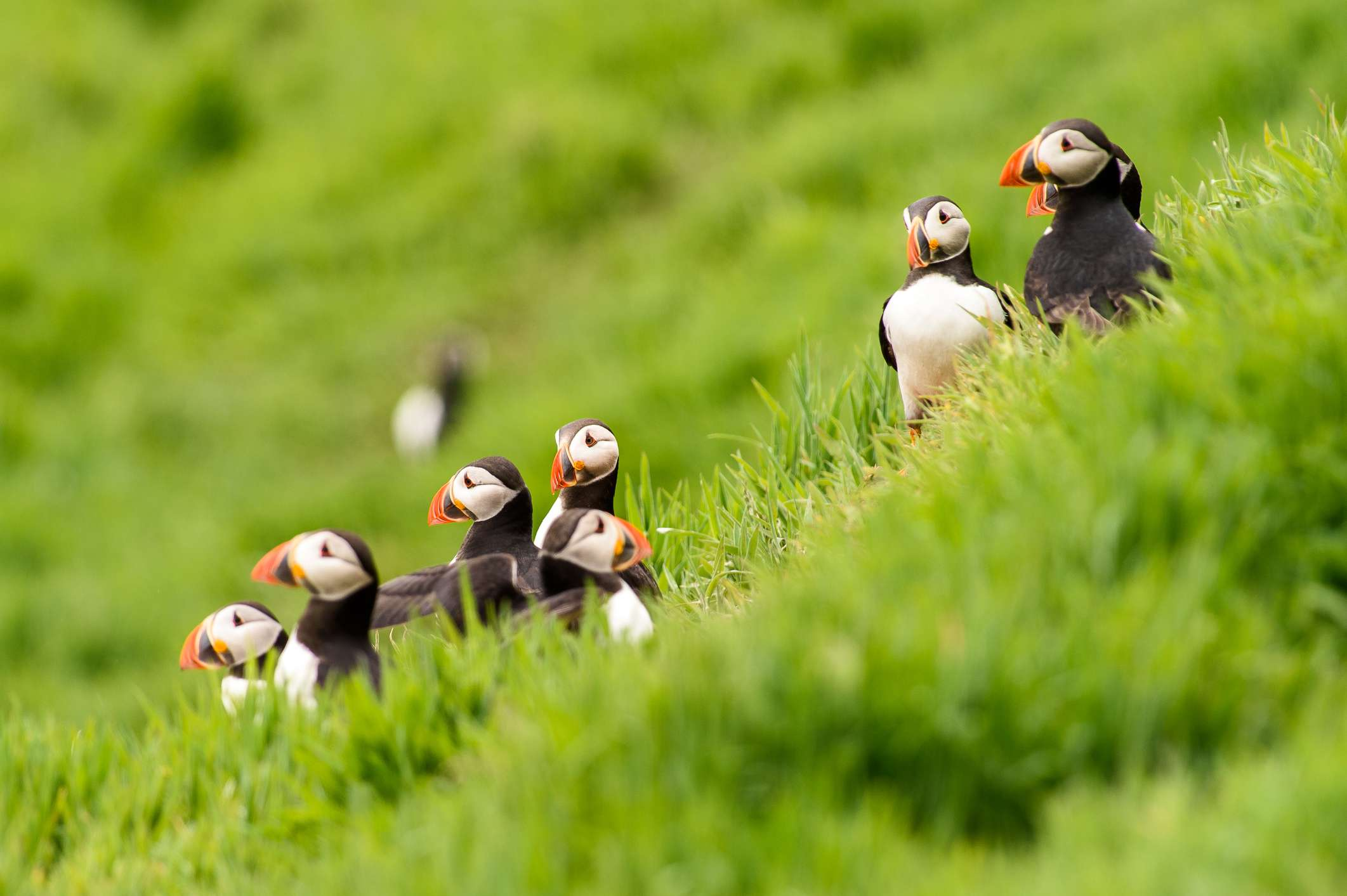A group of puffins sitting in the grass on Skomer Island