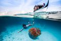 A snorkeler observing a jellyfish in the Indian Ocean near the Maldives.