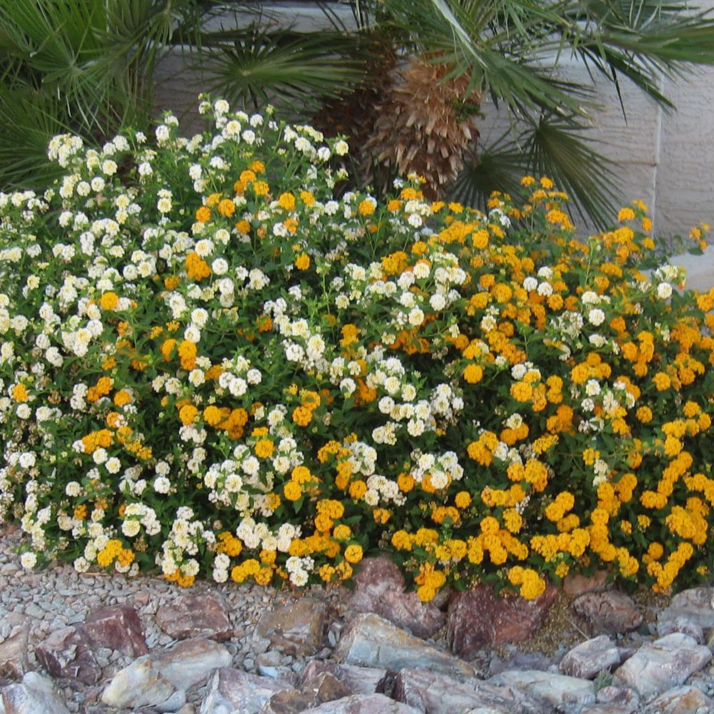 Easy Growing Desert Plant Lantana