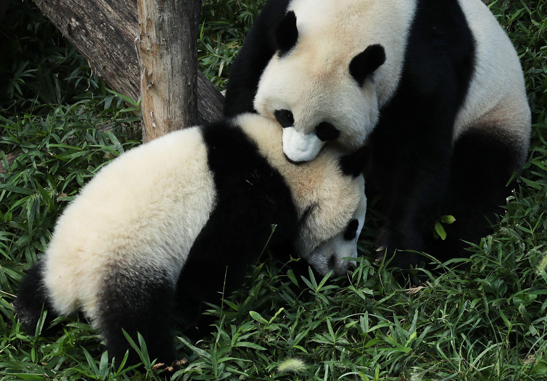 National Zoo Pandas