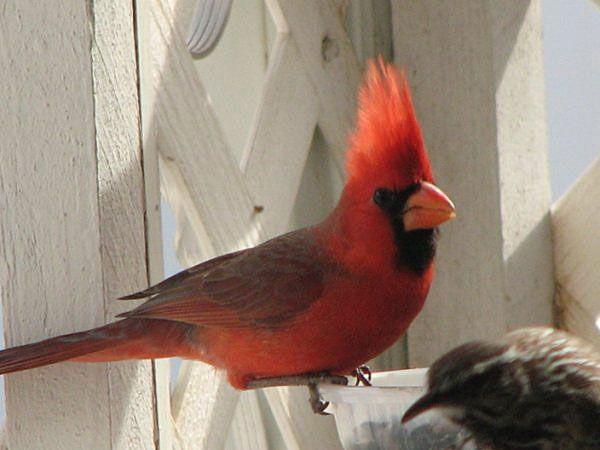 Northern Cardinal in Arizona