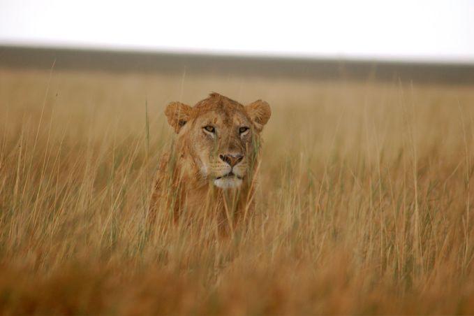 Un león en el Serengeti