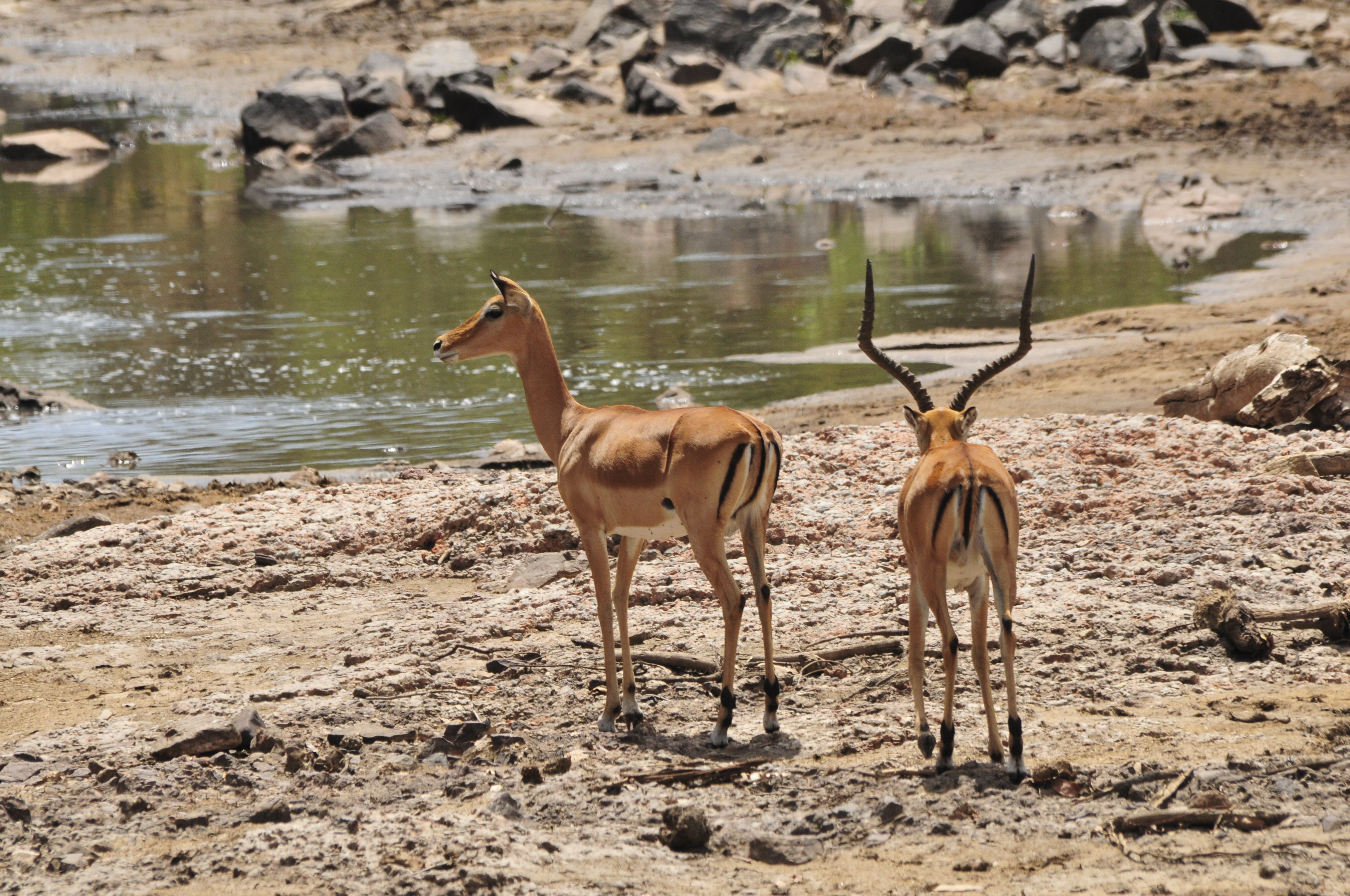 Grants Gazelle at Serengeti National Park