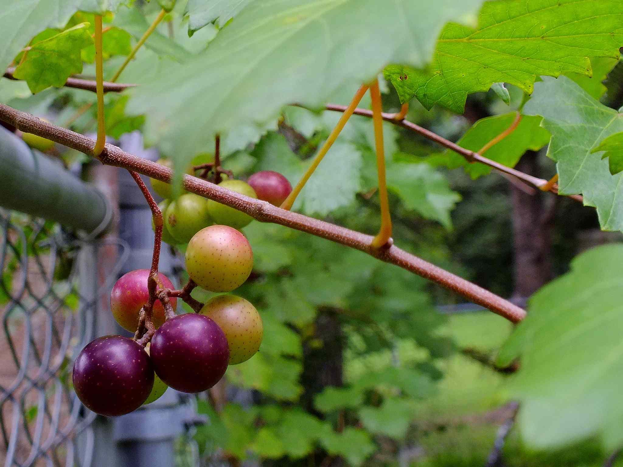 Muscadine Grape Farms in North Carolina