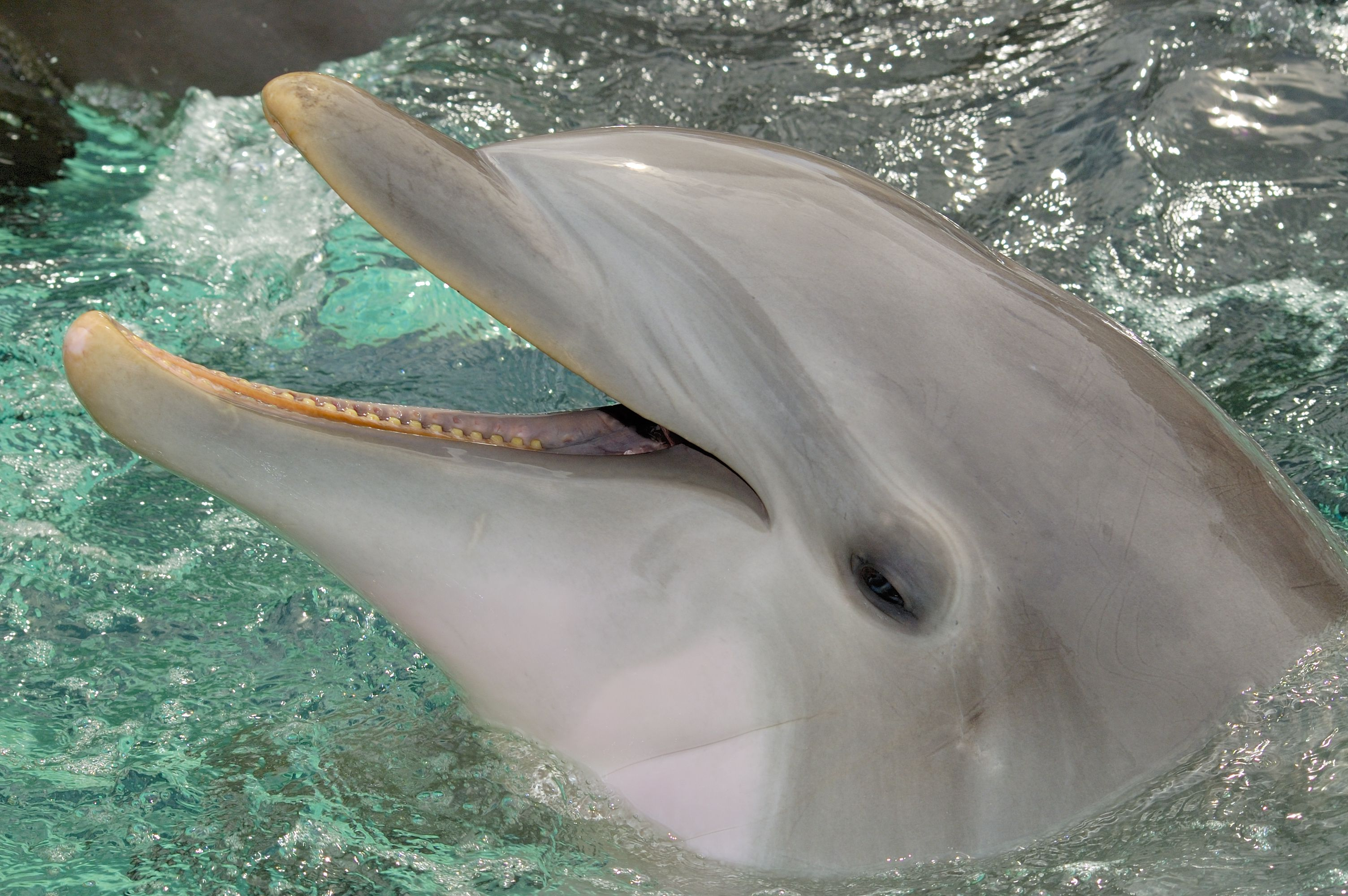 A Bottlenose dolphin with its mouth opened out of the water