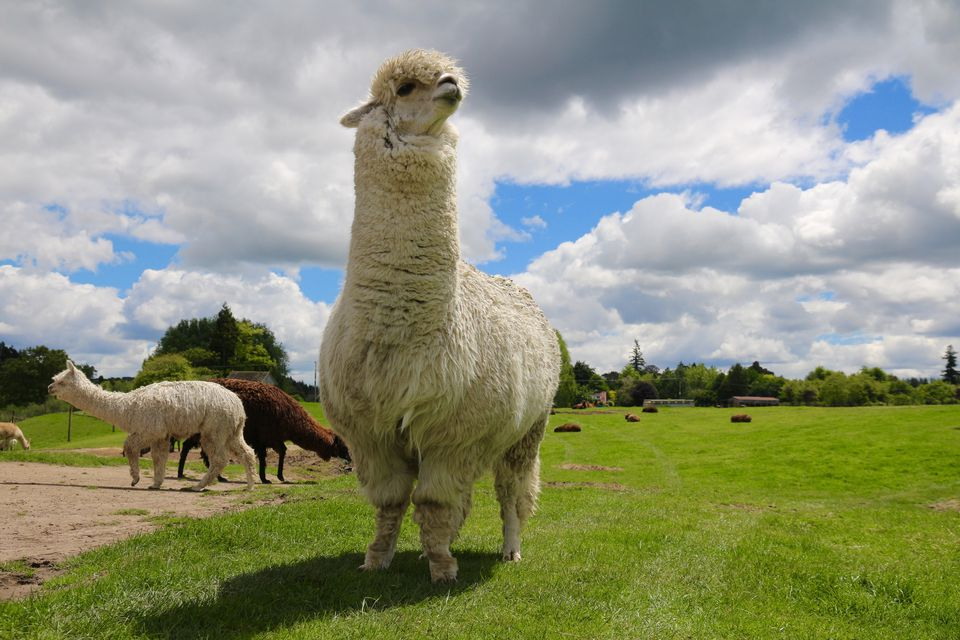 Alpaca against the sky