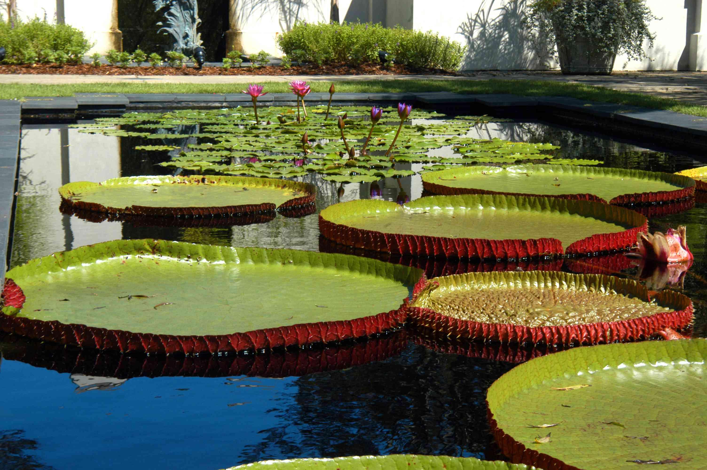 Big Lily Pads at Birmingham Botanical Gardens