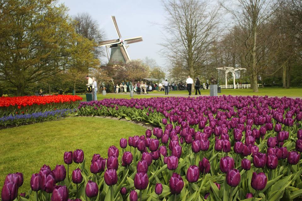 Springtime at Keukenhof gardens with spectacular blooming tulips.