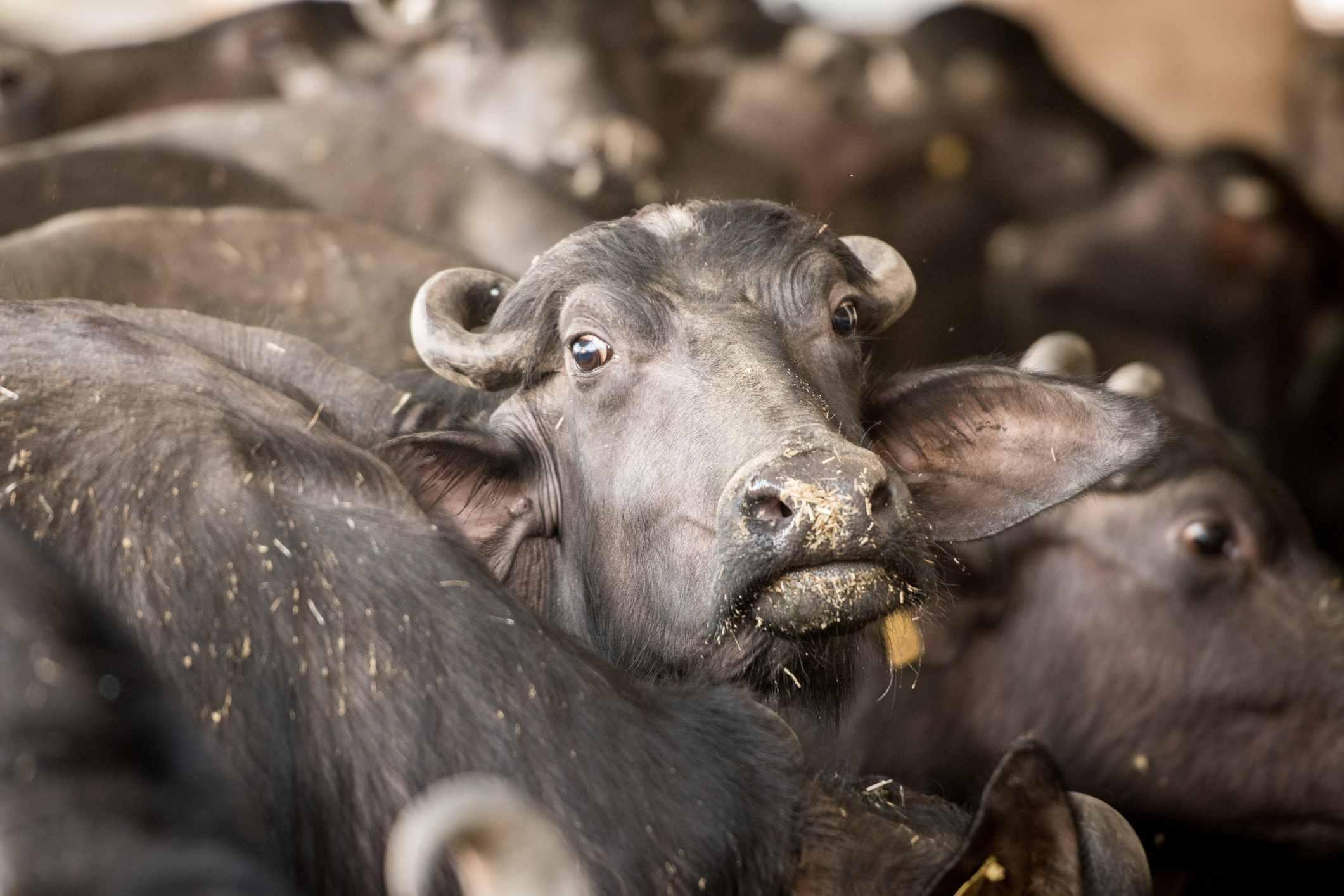 Buffalo in India.