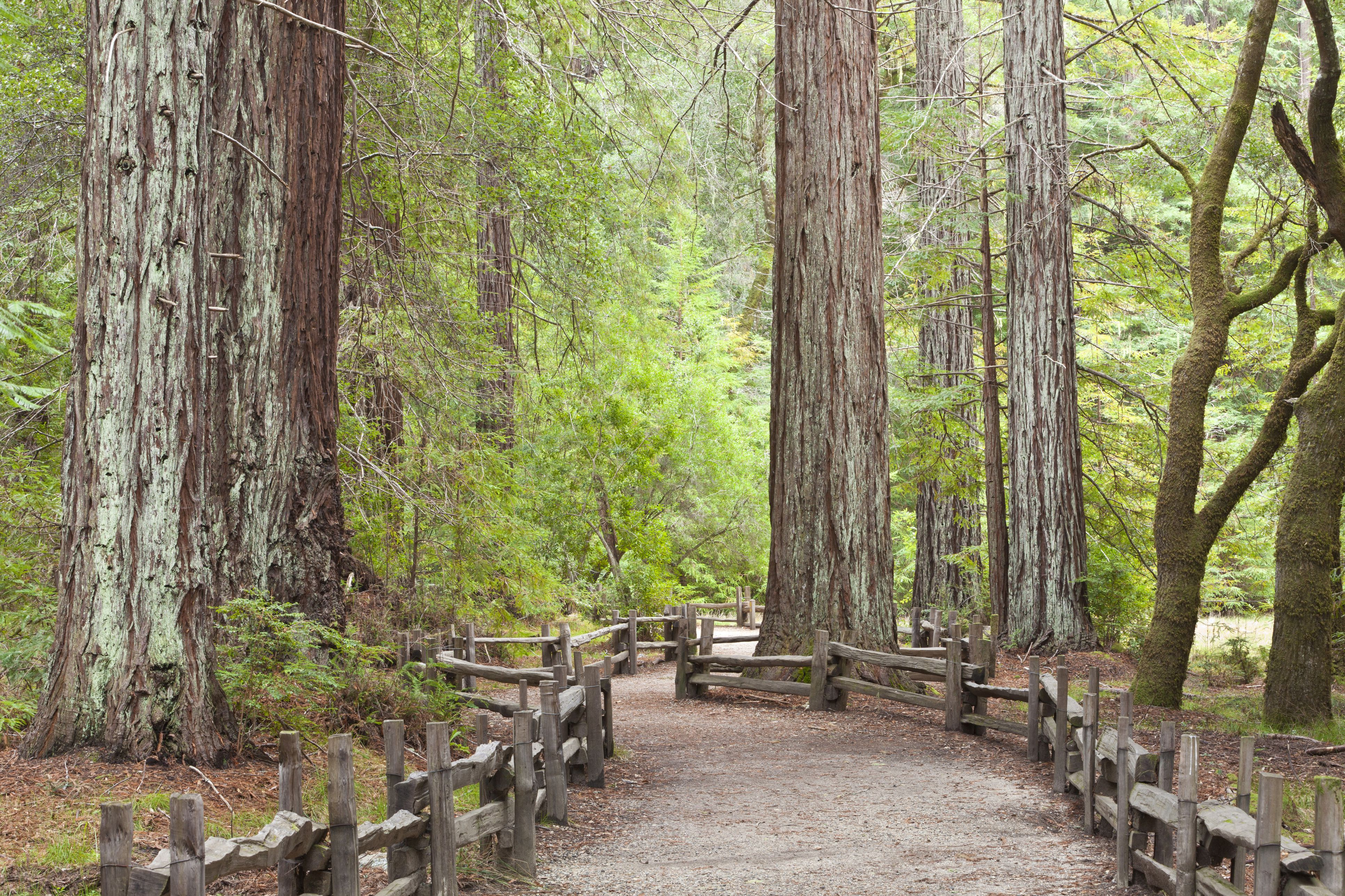 View of trail through redwoods, Big Basin Redwoods State Park, California, USA