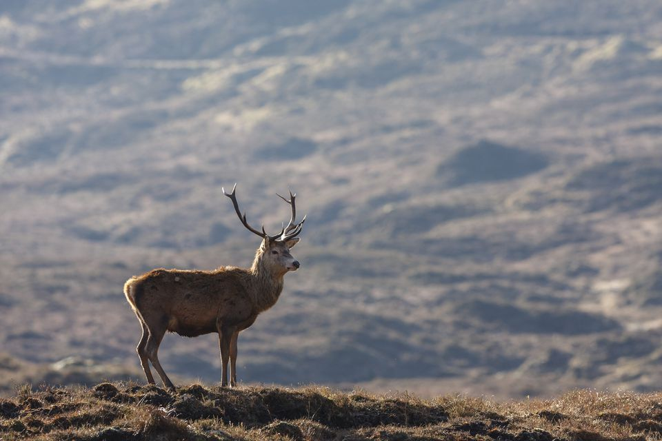 A male red deer framed by the mountains of the Cairngorms National Park, Scotland.