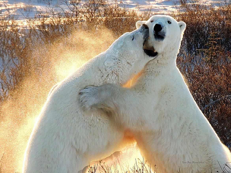 sized_Polar_Bears_Churchill_Nov2014_Martin.jpg