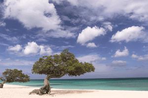 divi divi treese