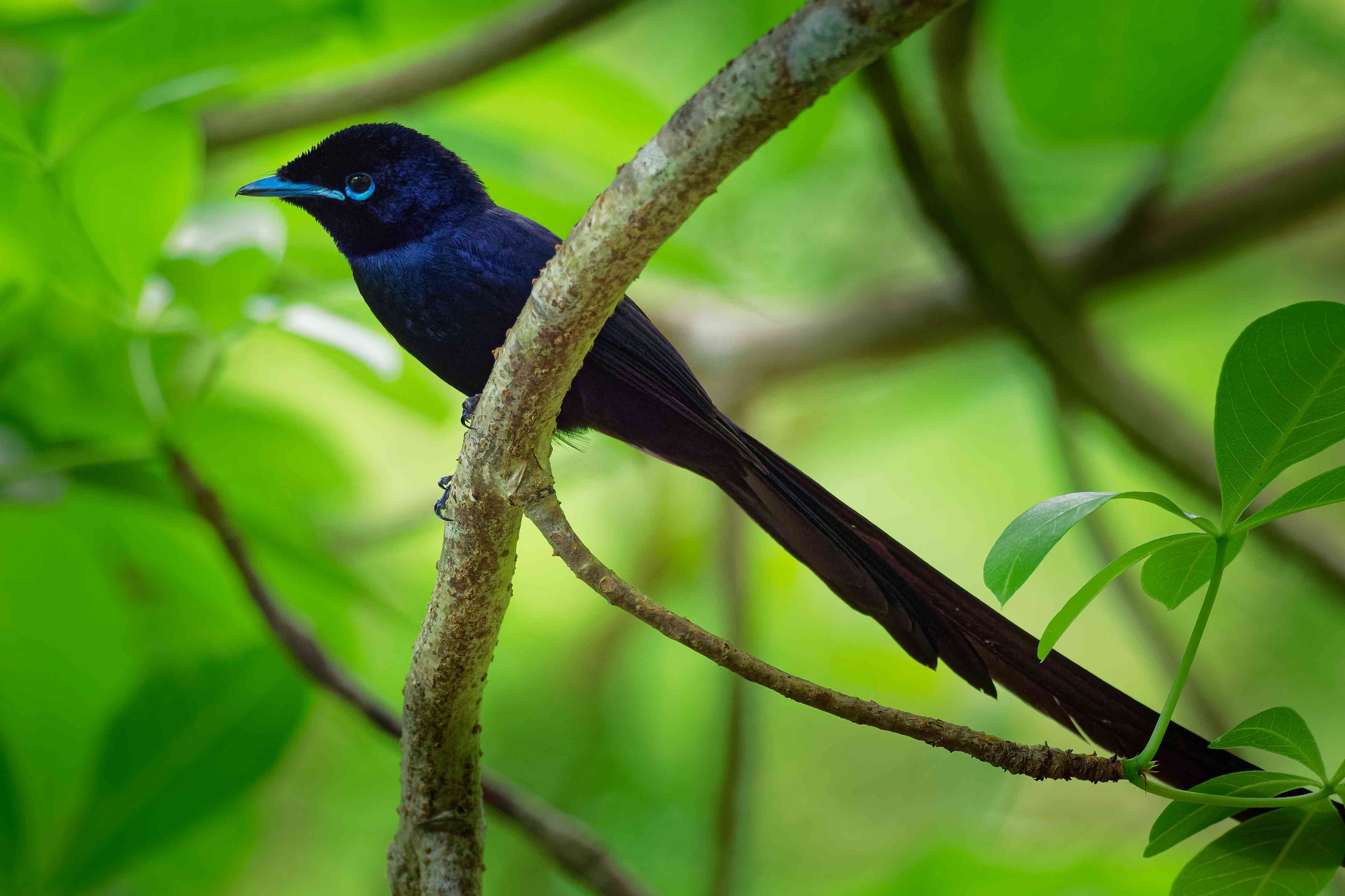 Seychelles paradise flycatcher - Terpsiphone corvina rare bird from Terpsiphone within the family Monarchidae, forest-dwelling bird endemic to the Seychelles island of La Digue