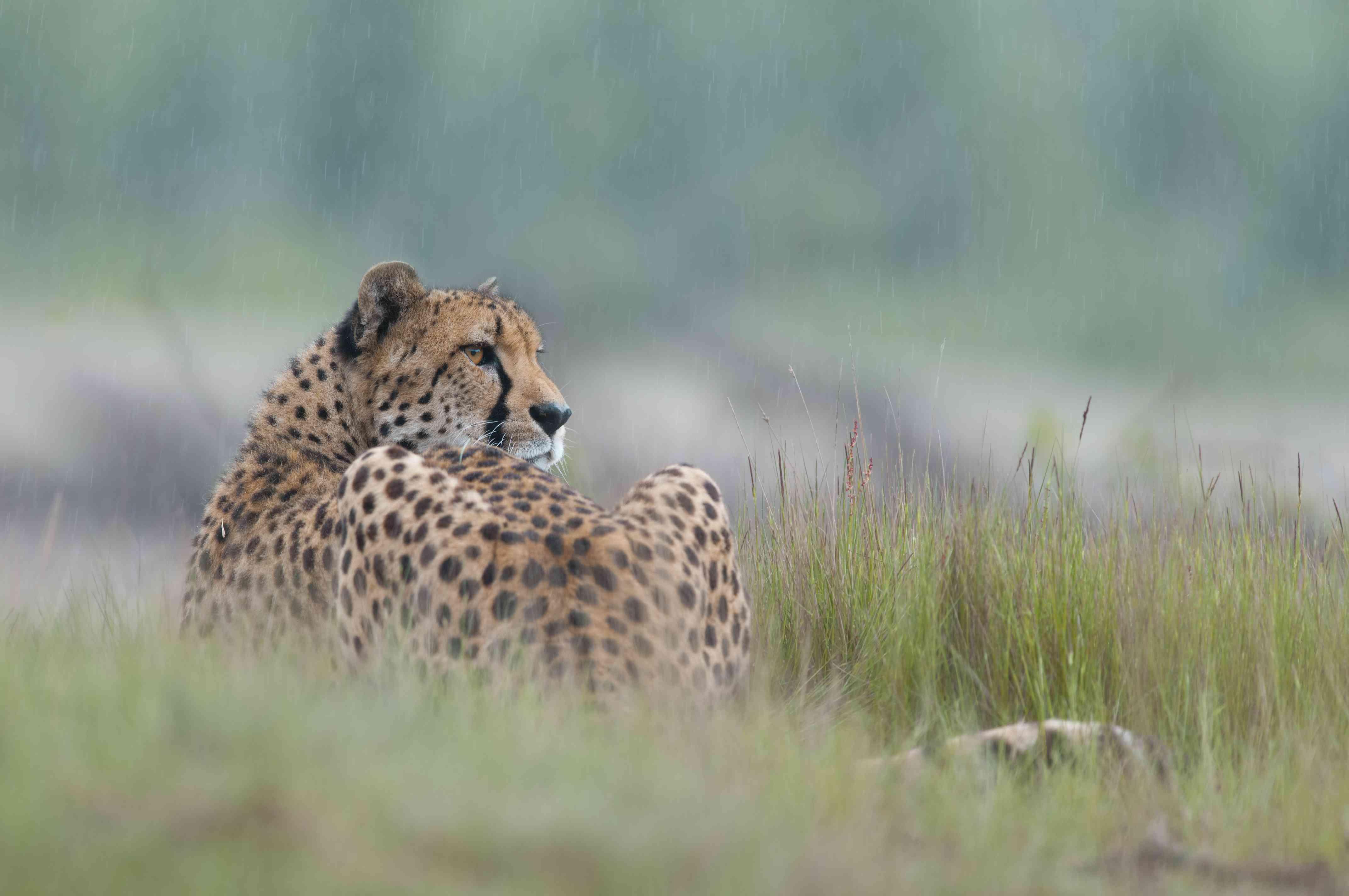 Cheetah lying down in grass, Safari Park Beekse Bergen, The Netherlands