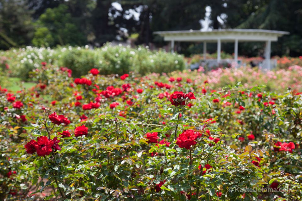 The Exposition Park Rose Garden