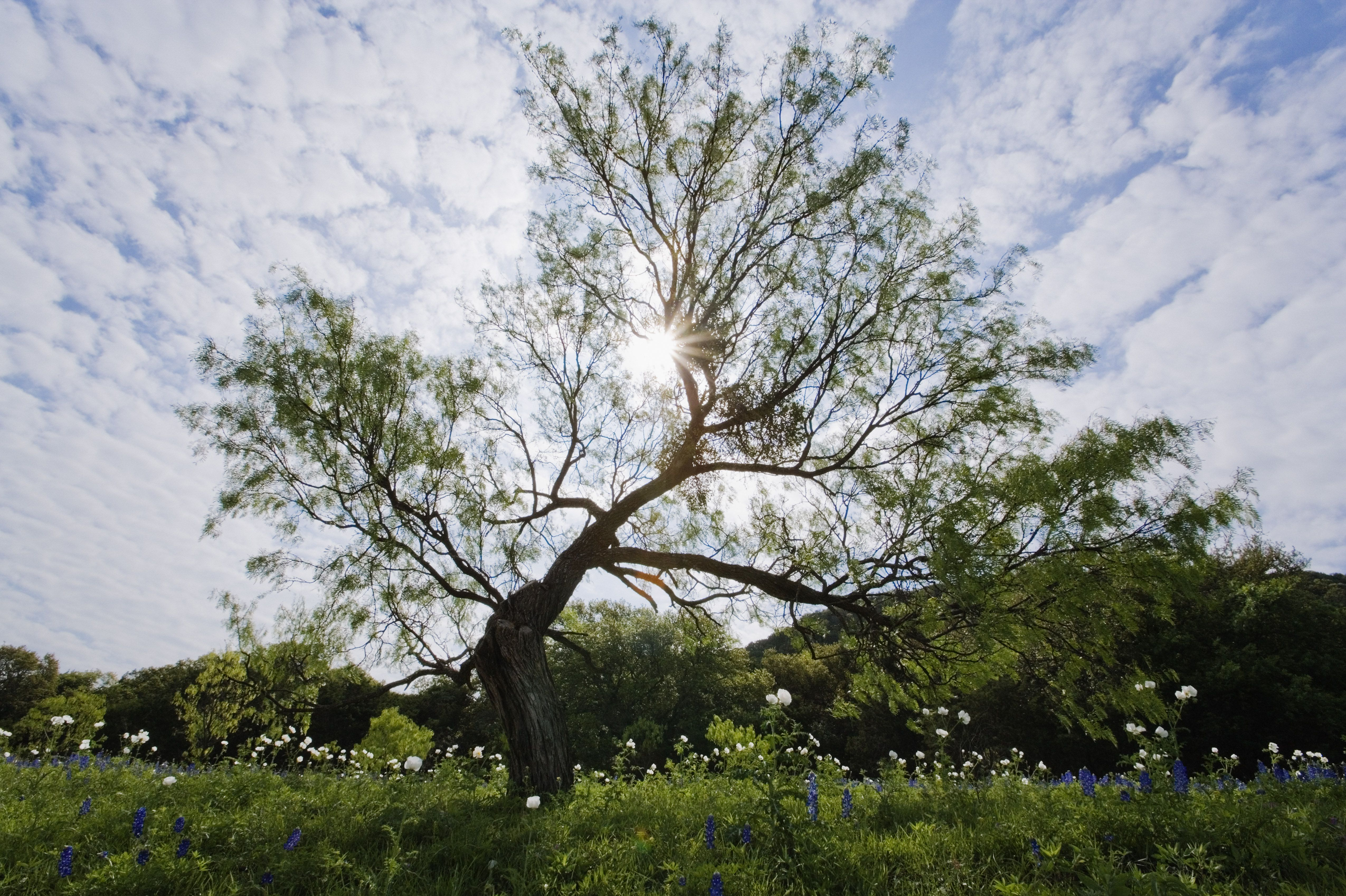 Mesquite Tree, Texas Hill Country, Texas, USA