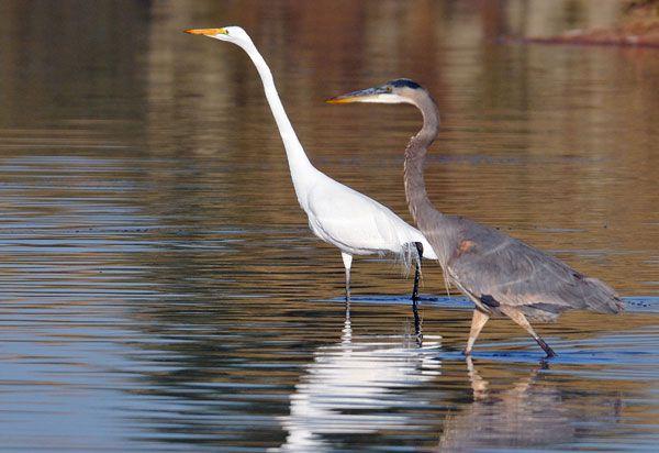 White Heron and Blue Heron