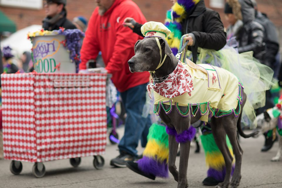 Dog and people walking in the Beggin' Pet Parade during Mardi Gras in Soulard, St. Louis, Missouri