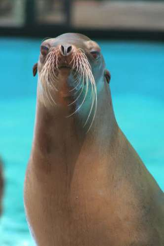 Rosie the California Sea Lion at the Sea Lion Show