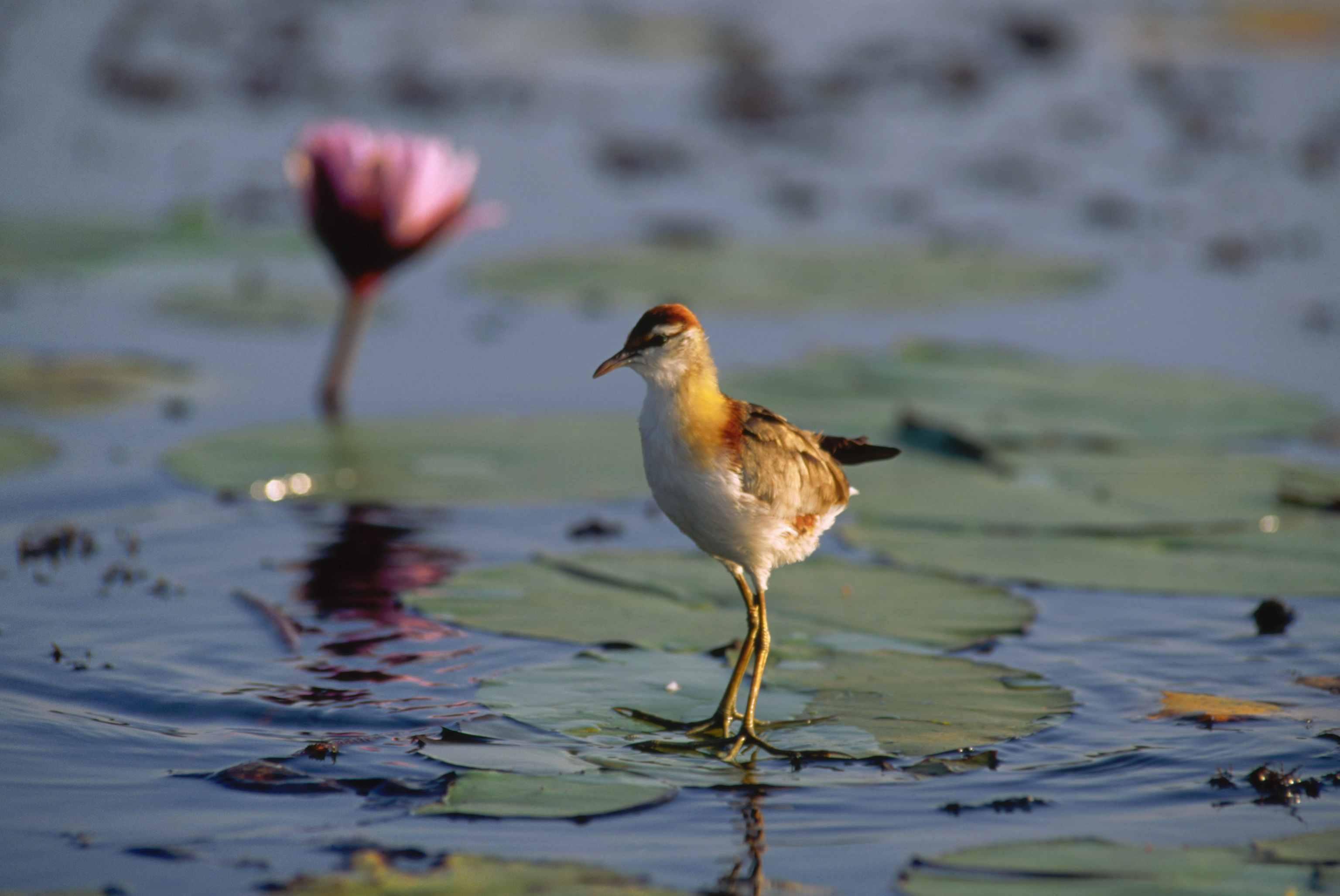 Lesser Jacana, Southern Africa Best Birding