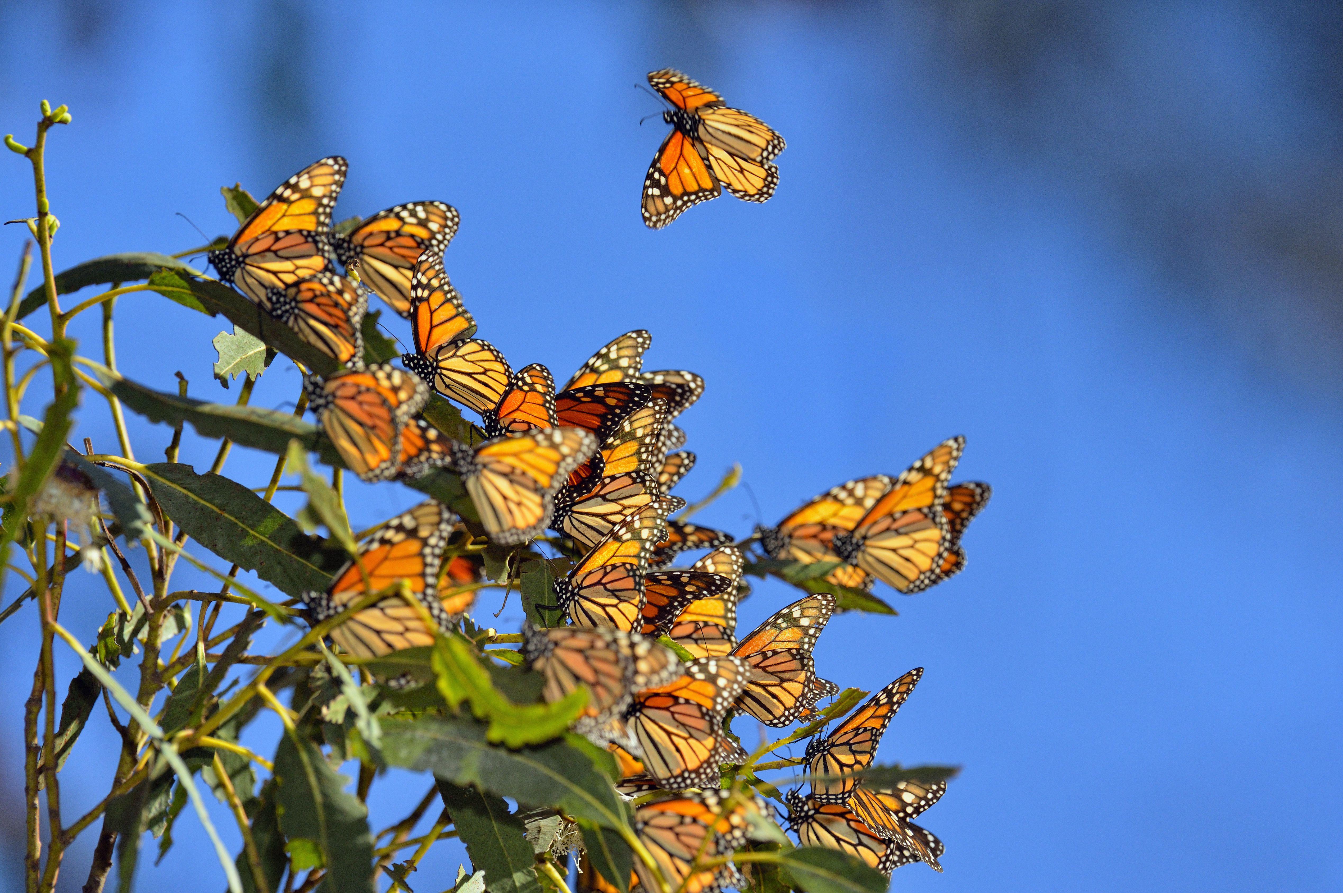 Monarch, Danaus plexippus, Winter colony roosting in eucalyptus tree, Pismo Beach State Park, California, USA