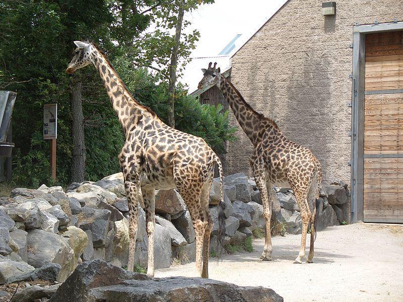 Alimente a las jirafas en el zoológico Roger Williams Park