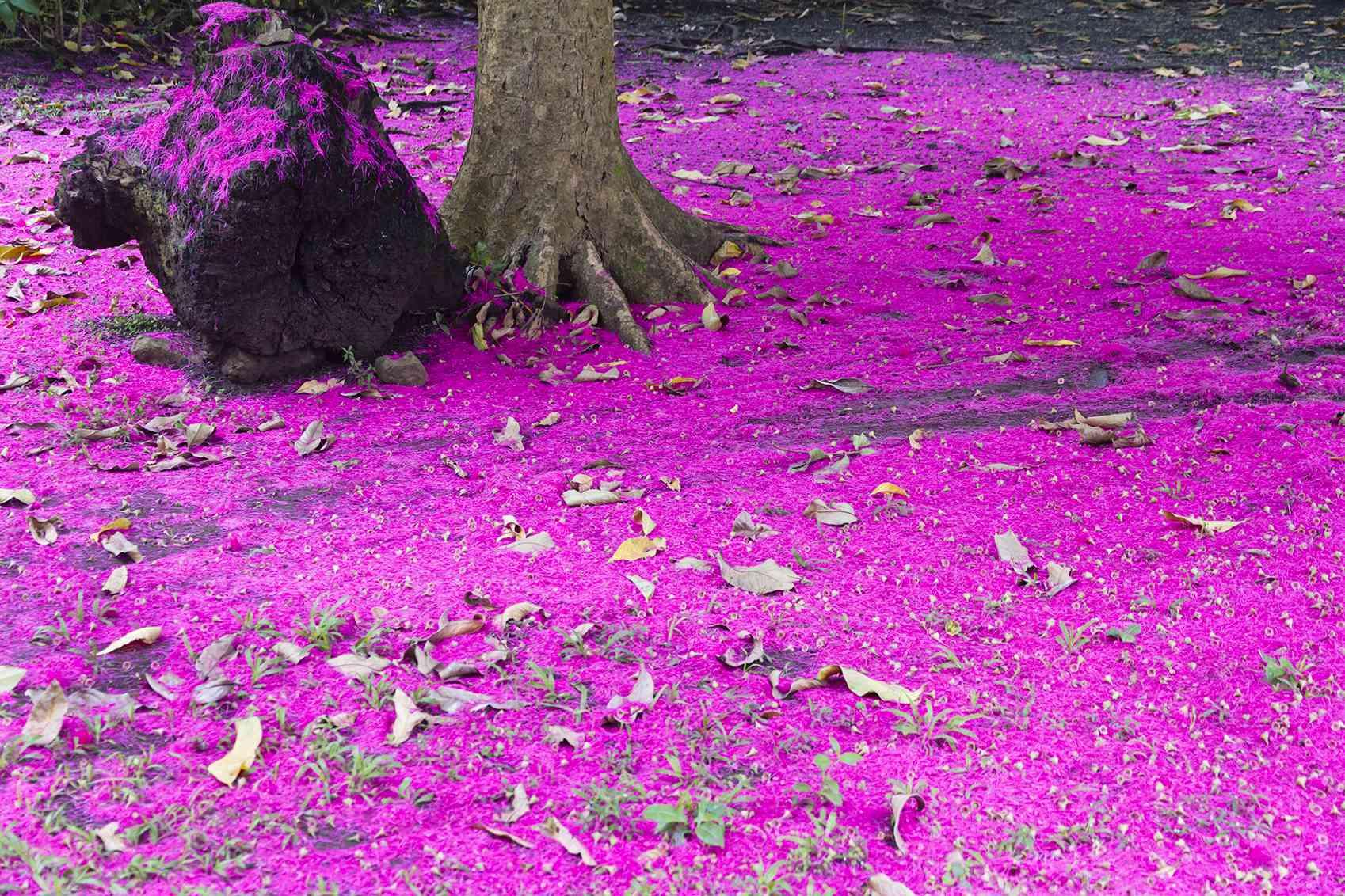 Carpet of magenta petals of Syzygium Malaccense