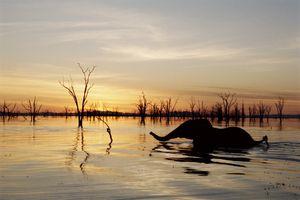 ELEPHANT SWIMMING, LAKE KARIBA, ZIMBABWE