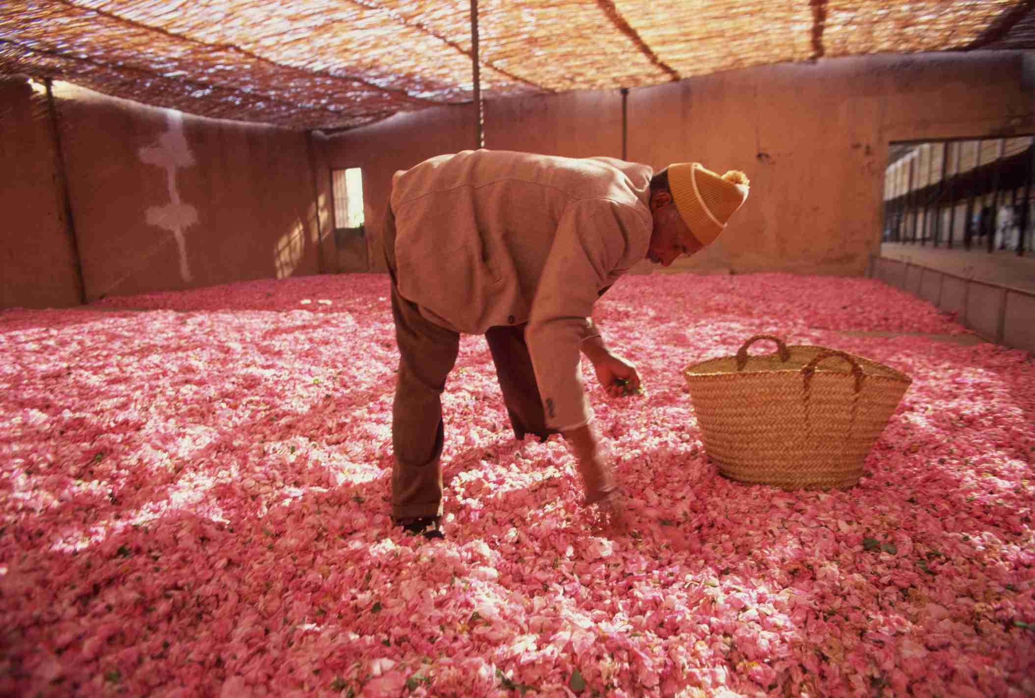 Worker processing rose petals in Kalaat Mgouna, Morocco