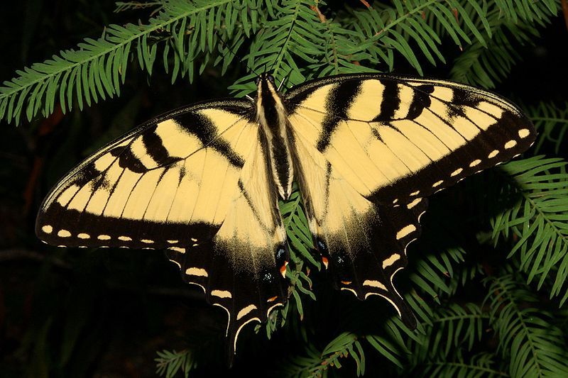 The State Butterfly Of North Carolina Eastern Tiger Swallowtail