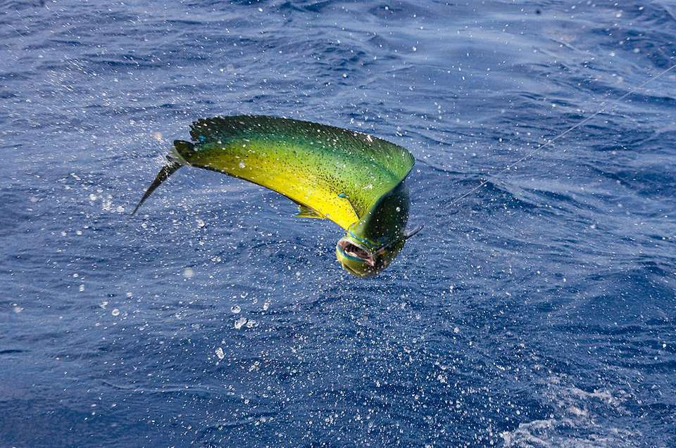 Fish leaping out of the ocean on a line