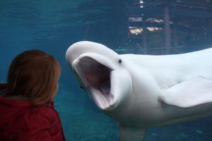Beluga Whale viewing window, Mystic Aquarium