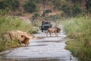 Two male lions cross a river in front of a safari vehicle