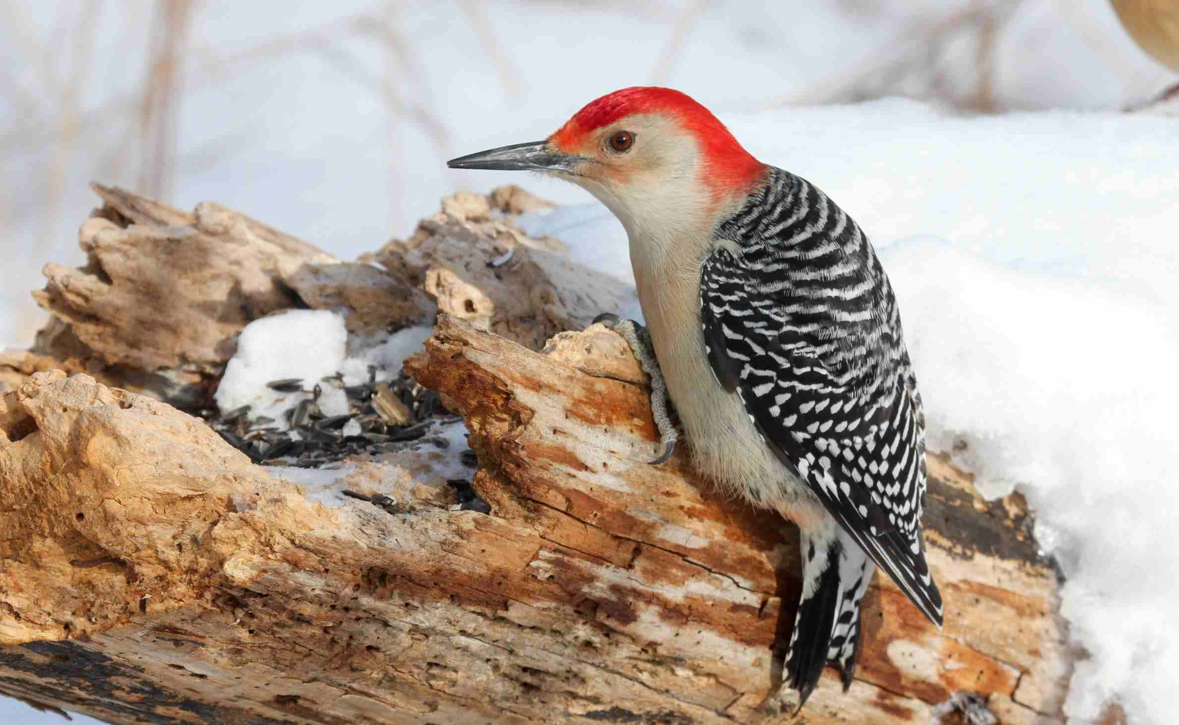Red-bellied woodpecker at Theodore Roosevelt Sanctuary and Audubon Center