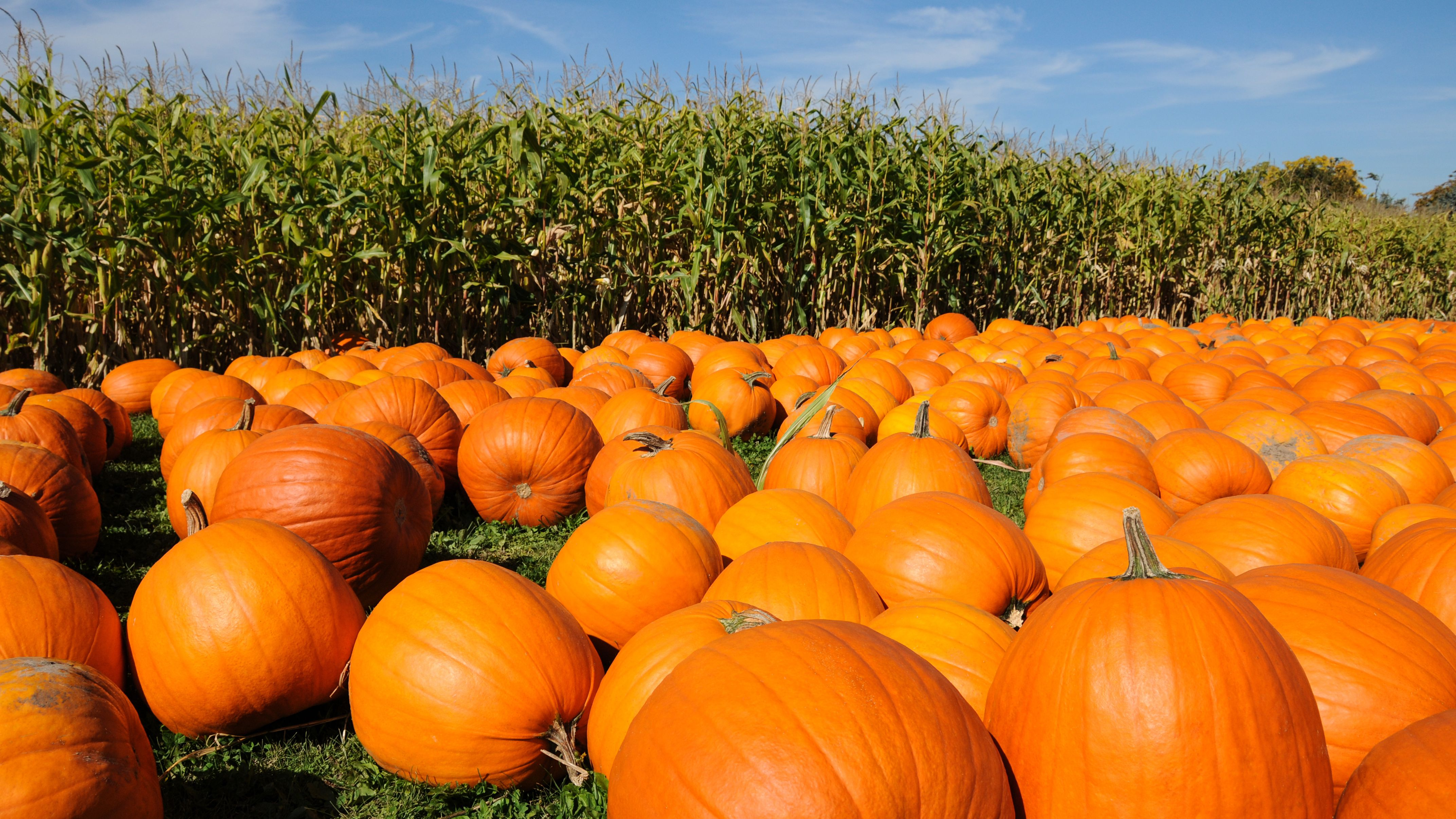 Image result for Pumpkin Farming