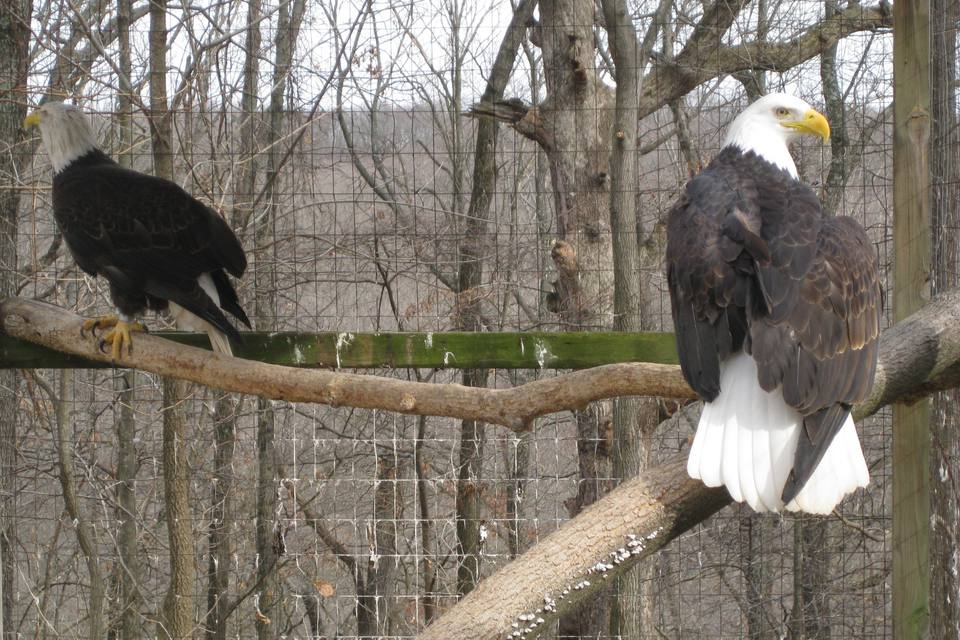 Bald Eagles at the World Bird Sanctuary