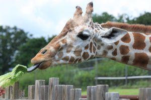Giraffe eating lettuce leaf at the Oklahoma City Zoo