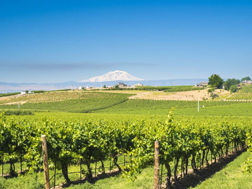 Vineyards with Mt. Adams in back ground