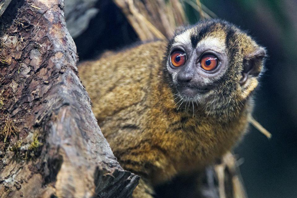 Mono lechuza marrón