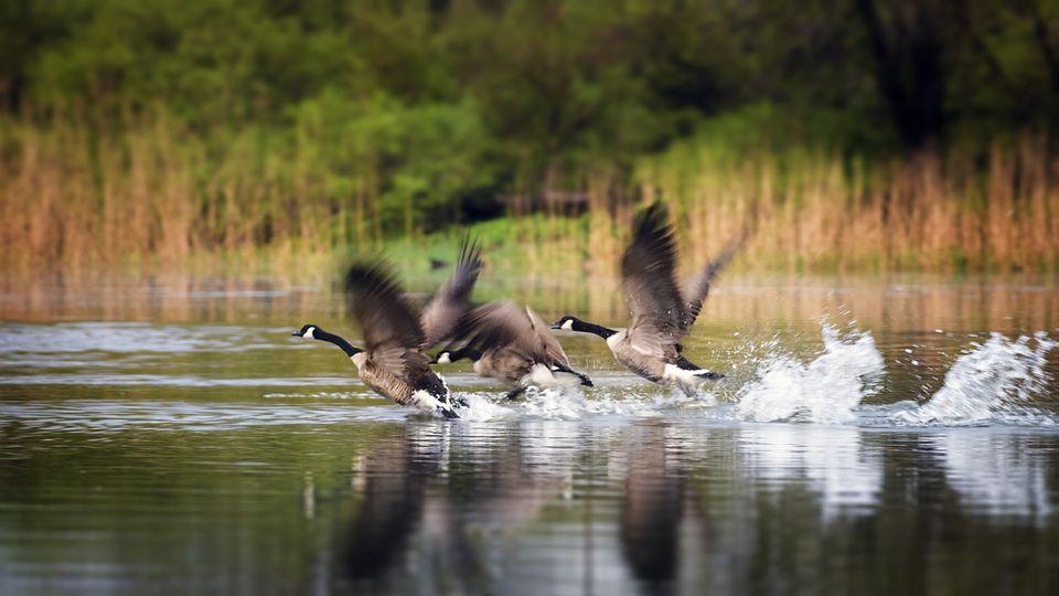 Canadian geese landing in water